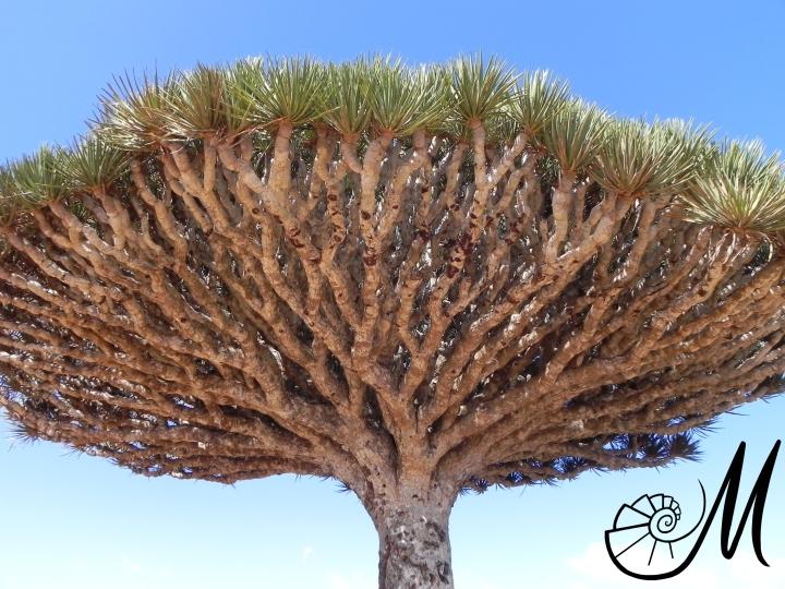 socotra' trees