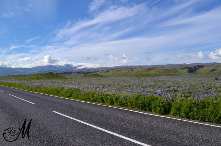 fiori-viola-strade-islanda