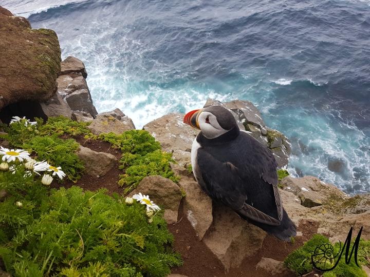 pulcinella-uccelli-islanda